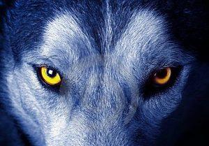 wolf-17334773 (2)